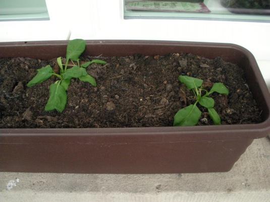 kräftige Spinatpflanzen