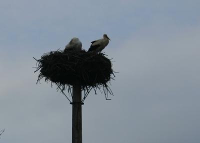 Ein Storchenpaar hoch oben in seinem Horst